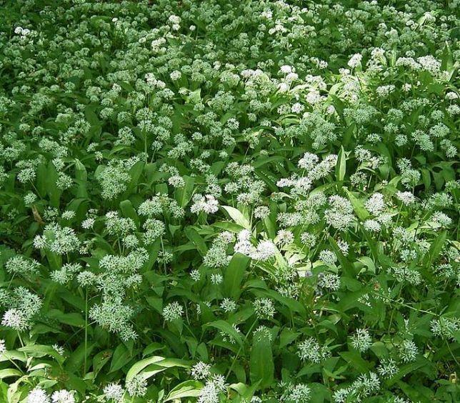 685px-Allium_ursinum8_ies